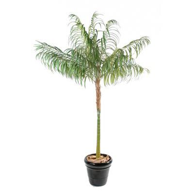 Areca palmes