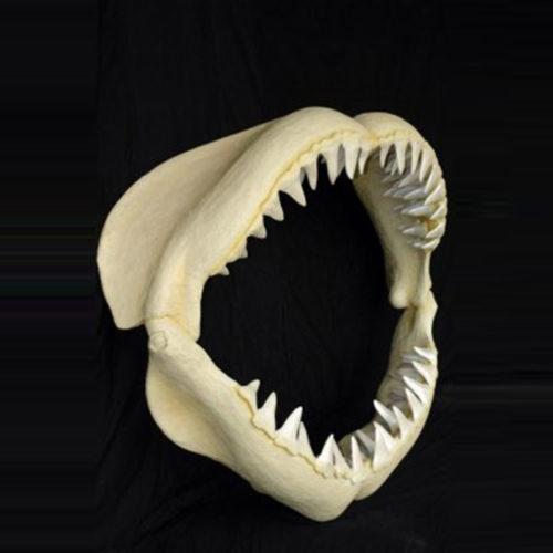 Mâchoire de grand requin