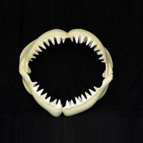 Mâchoire-de-requin-PM