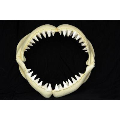 Mâchoire de requin PM