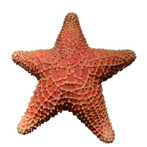 étoile de mer géante en résine